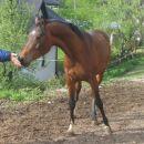 RABIAA - prijazen in pozoren žrebec. Karakterno in vizualno zelo podoben očetu MM PESZ-u!