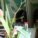 Colmonara Jungle Monarch-po1letu in 1mesecu čakanja se je odprl 1 cvet in je bilo ugibanja