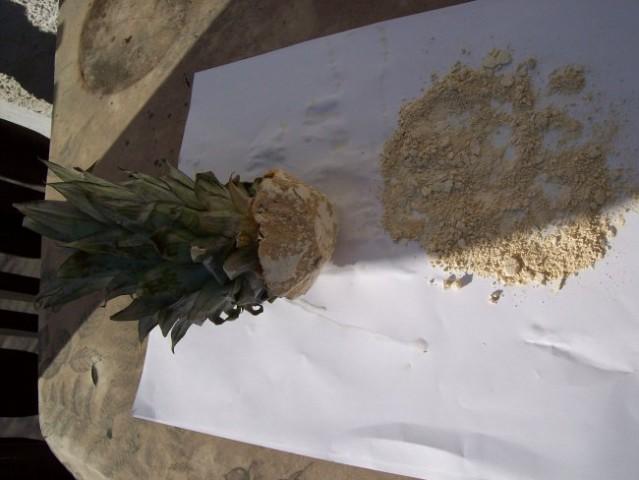Ananas namočen v fungicid.