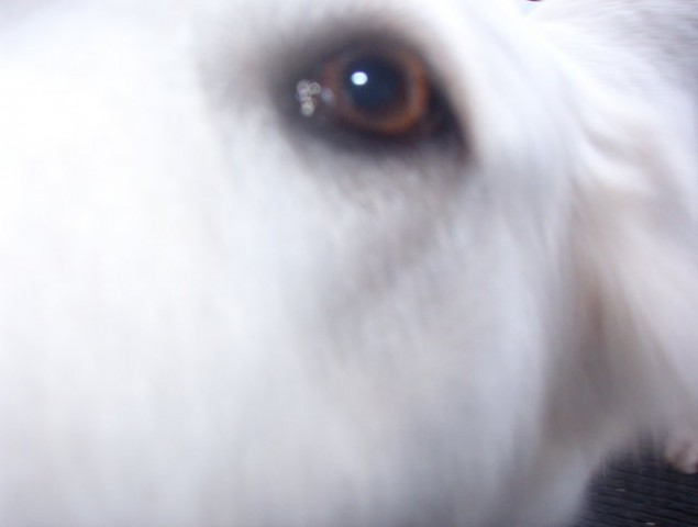 Kana (švicarska bela ovčarka) - foto