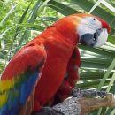 rdeče-modra papiga