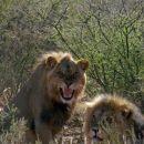 kralj živali-lev