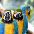 rumeno-modre papige
