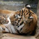 tigerček z mamico