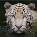 najlepši tiger! :)