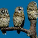 tri velike uharice