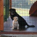 Mali in veliki labrador.