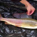 spol riba