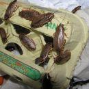 ščurki