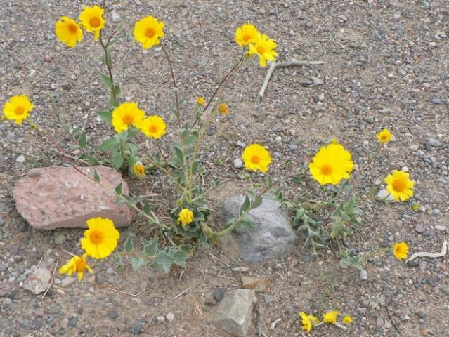 Dolina smrti, puščavsko zlato (Desert Gold - Geraea canescens)