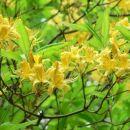 Azaleja (Azalea Pontica) je vrsta (rumenega)sleča