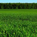 pšenično polje