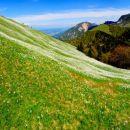 planina posuta z nešteto cvetov narcis (ključavnice)