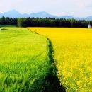 Pol pšenice in pol oljne repice