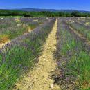 polje sivke