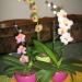 skupina  orhidej
