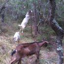 naše koze na paši v gozdu