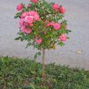 stebelna vrtnica