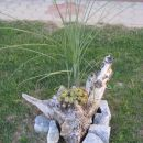 korenina z uhecom in pompaško travo v ozadnju