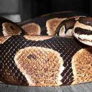 Python regius- Polde