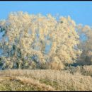 frost in the vineyard (2)