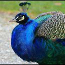 a peacock in profile