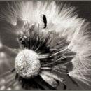 dandelion&bug