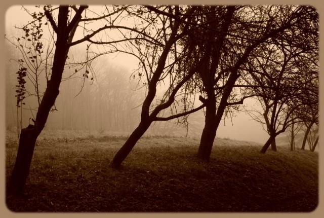 Apple trees&fogg