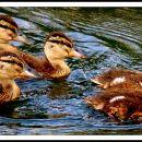 ducklings (2)