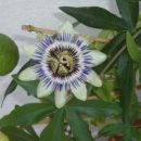 Pasijonka Prečudovit cvet!