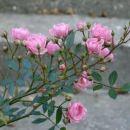 Vrtnice plezalke:P