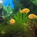 Labidochromis caureleus