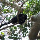 Bolivija-opica(črni vriskač)