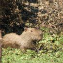 Bolivija-Kapibara