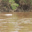 Bolivija-sladkovodni delfin