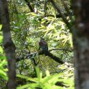 'New Zealand Pigeon'