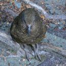 Kea, gorska papiga