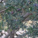 olive hm..