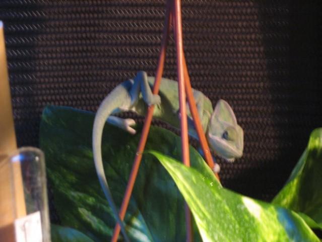 Sparky (jemenski kameleon) in njegov terarij - foto
