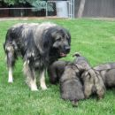 Sarplaninka sa potomcima