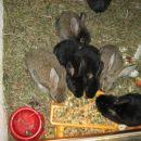 zajčki