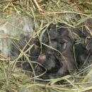 3 dni stari zajčki