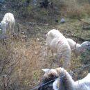 Pozdravljene, ovčke