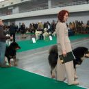 tibetanski mastifi v ringu