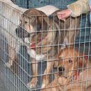 španski mastifi v ograjici
