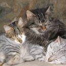 Grožnjan cats