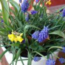 Pomladna skleda. Odpira se in cveti po vrsti.