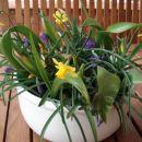 Pomladna skleda. Prezimila na balkonu, zacvetela zunaj na terasi.