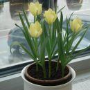 Nizki tulipani. Prezimili na balkonu, zacveteli na oknu.