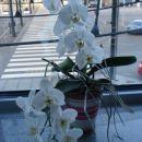 Orhideja, ki sem jo podedovala od Špele, njej je tako lepo zacvetela. Imam jo noter na pis